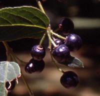 maqui-frutos1