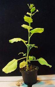 220px-Nicoatiana_benthamiana_plant
