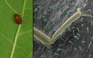 sn-bedbugs