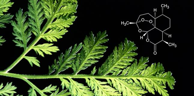 Artemisia, Artemisinin, Wirkstoffe, Natur